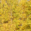 Beautiful yellow leaves of birch trees in forest at sunny autumn — Stock Photo