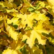 Beautiful yellow maple leaves on branches of tree in sunny autum — Stock Photo
