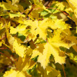 Beautiful yellow maple leaves on branches of tree in sunny autum — Stock Photo #29746475