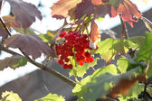 Snítka bobule červené kalina mezi listy na podzim na slunné da — Stock fotografie