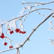 Red viburnum berries in frost in winter and blue sky at sunny da — Stock Photo