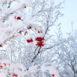 Branches of trees and red viburnum berries in frost in winter at — Stock Photo