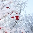 Branches of trees and red viburnum berries in frost in winter at — Стоковая фотография