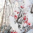 Stock Photo: Viburnum berries in frost in winter and sun shines through branc