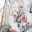 Viburnum berries in frost in winter and sun shines through branc — Stock Photo