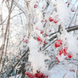Stock Photo: Trees with viburnum berries in frost in winter and sun shines th