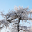 Beautiful tree in frost in winter ay background of blue sky. — Stock Photo