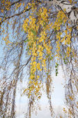 Beautiful branches of big white birch with yellow leaves in autu — Stock Photo