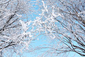 Beautiful bushes in frost in winter ay background of blue sky. — Stock Photo
