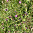 Stock Photo: Pink and purple wildflowers in green grass at sunny summer day