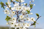 Branch with beautiful white cherry flowers, buds and green leave — Foto Stock
