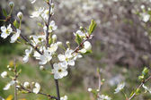 Branch with white cherry flowers, buds and fresh leaves at sunny — Stock Photo