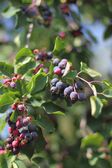 Green twig of irga with ripe berries — Stock fotografie