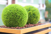 Two decorative green shrubs in shape of ball in wooden flowerpot in summer cafe — Stock Photo