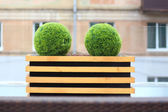 Two decorative green bushes in shape of ball in wooden flowerpot in summer cafe — Stock Photo