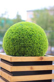 Decorative green shrub in form of ball in wooden flowerpot in summer cafe — Stock Photo