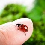 Ladybug on a green background — Stock Photo