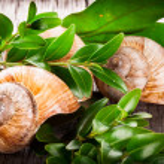 Helix pomatia, common names the Burgundy snail, Roman snail, edible snail or escargot — Stock Photo