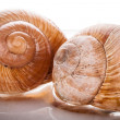 Stock Photo: Garden snail (Helix aspersa)