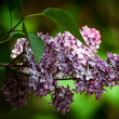 Syringa vulgaris — Stock Photo