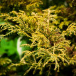 Chamaecyparis pisifera aurea  — Stock Photo