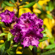 Flowering violet rhododendron — Stock Photo