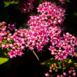 Stock Photo: Pink flowers of SpiraeJaponica