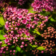Pink flowers of Spiraea Japonica — Stock Photo