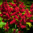 Red Astilbe — Stock Photo #35506167