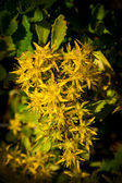 Goldmoss Stonecrop (Sedum acre) flower — Stock Photo