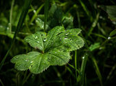 """lady's mantle"" plant with water drops — Stock Photo"