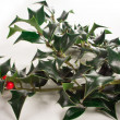 Ilex crenata — Stock Photo