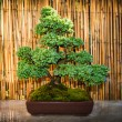 Stock Photo: Bonsai tree in bowl