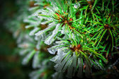 Picea abies — Stock Photo