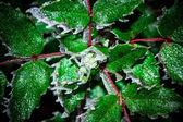 Mahonia aquifolia — Stock Photo