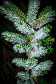 Picea omorika — Stock Photo