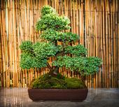 Bonsai tree in a bowl — Stock Photo