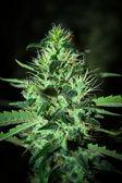 Big cannabis marijuana plant detail — Stock Photo