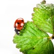 Ladybird on green leaf isolated on a white background — Stock Photo