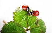 Lieveheersbeestje op groene blad geïsoleerd op een witte achtergrond — Stockfoto