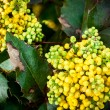 Mahonia aquifolia — Stock Photo #45331261