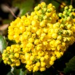 Mahonia aquifolia — Stock Photo #45331385
