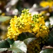 Mahonia aquifolia — Stock Photo #45331397