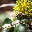 Mahonia aquifolia — Stock Photo