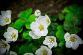 Flower oxalis acetosela — Stock Photo