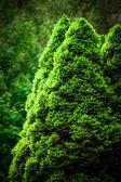 Picea abies Glauca — Stock Photo