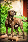 Bandog — Stock Photo