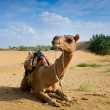 Stock Photo: Camel sitting on desert