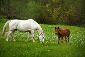 Horse with a baby on a green grass — Stock Photo