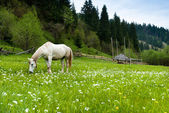 Stallion grazing in a pasture — Stock Photo
